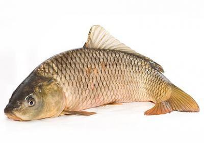 Полезные свойства рыбы карп